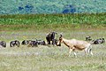 Ngorongoro 2012 05 30 2676 (7500969450).jpg
