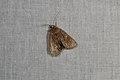 Noctuidae sp. (35634716764).jpg
