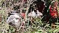 Noisy Friarbird (Philemon corniculatus) (31301476421).jpg