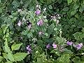Noordwijk - Tuinjudaspenning (Lunaria annua).jpg