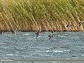 Northern Pintail (Anas acuta) & Northern Shoveler (Anas clypeata) (37095120833).jpg