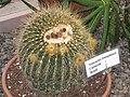 Notocactus leninghausii - Buffalo and Erie County Botanical Gardens - 1-10 - IMG 3547.JPG