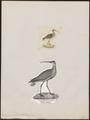 Numenius tenuirostris - 1700-1880 - Print - Iconographia Zoologica - Special Collections University of Amsterdam - UBA01 IZ17400059.tif