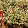 Nursery stocks of Berberis julianae in Cristenson nursery Vienna Sept. 1979.jpg