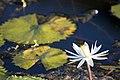 Nymphaea lotus (2).jpg