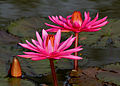 Nymphaea pubescens (Indian red water lily), Hyderabad, India - 20090613-02.jpg