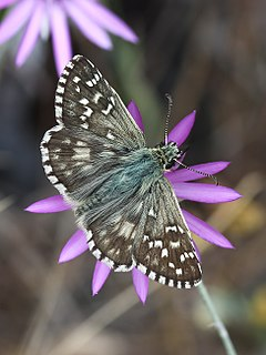 Oberthürs grizzled skipper Species of skipper butterfly genus Pyrgus