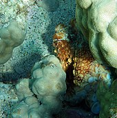 An octopus nearly hidden in a crack in some coral