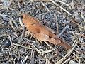 Oedipoda caerulescens CBTha011.JPG
