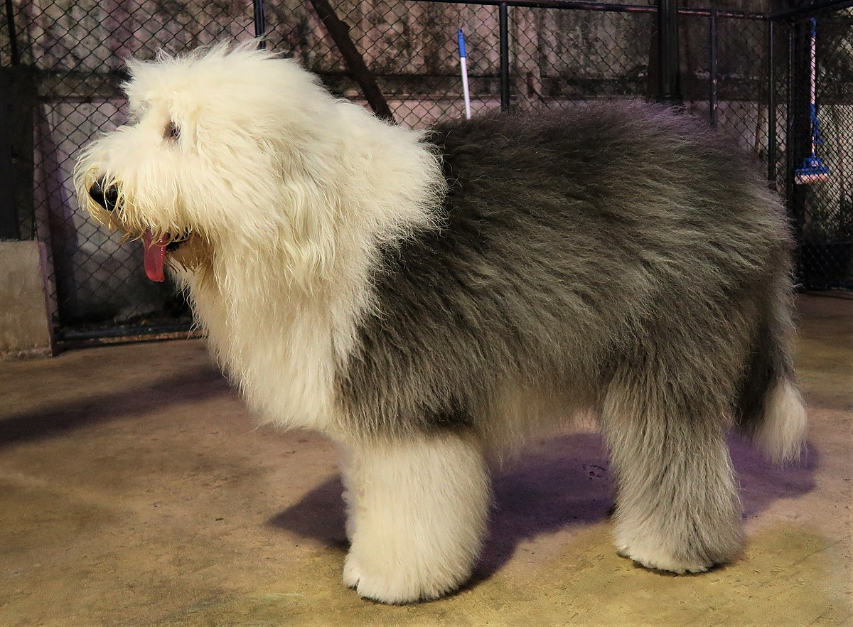 Old English Sheepdog , Wikipedia