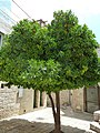 Old Jerusalem Beit El road orange tree.jpg