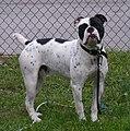 Olde English Bulldogge Duke.jpg