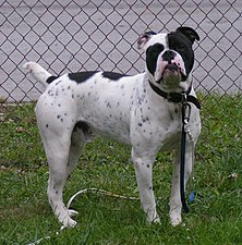 Olde English Bulldogge Duke.jpg