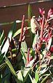 Oleander (Nerium oleander) Samenkapseln (8153694264).jpg