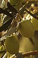 Olives (UOVO PICCIONE) Cl J Weber (7) (23148282405).jpg