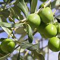 Olives vertes sur olivier.jpg