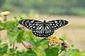 Open wing posture Nectaring of Papilio clytia Linnaeus, 1758 – Common Mime (Form Dissimilis) WLB DSC 9586.jpg