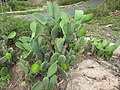 Opuntia ficus-indica-2-chenkadu-yercaud-salem-India.jpg