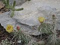 Opuntia polyacantha ssp hystricina.jpg