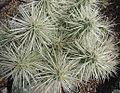 Opuntia tunicata (8415238495).jpg
