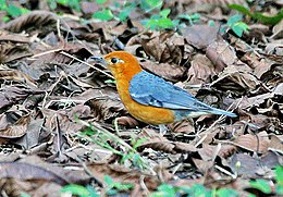 Orange-headed Thrush (Zoothera citrina) in Kolkata I IMG 3224.jpg