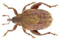 Orchestes quercus (Linné, 1758) Syn.- Rhynchaenus quercus (Linné, 1758) (11926940614).png