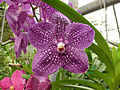 Orchids in Thailand 2013 2726.jpg