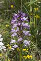 Orchis militaris pelouse-chezy-sur-marne 02 12052007 4.jpg