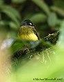 Ornate Flycatcher (445670718).jpg