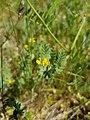Ornithopus compressus flower (17).jpg