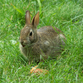 Oryctolagus-cuniculus-and-carrot.png