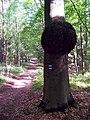 Ostřetín, Na Hradcích, boule na stromě.jpg