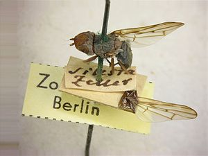 Hermann Loew - Specimen of Otites bucephala in the Loew collection, Museum für Naturkunde