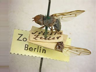 Hermann Loew - Specimen of Otites bucephala in the Loew collection, Museum für Naturkunde