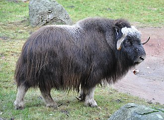 Muskox - Muskox in the Lüneburg Heath wildlife park in Germany