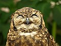 Owl's smile^^ -) - Flickr - merec0.jpg
