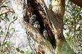 Owl in ranathambore.jpg