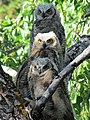 Owlets at Mammoth (15261708402).jpg