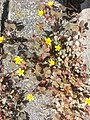 Oxalis corniculata in Germany 2.jpg