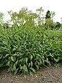 P1000616 Senecio doria (Ragwort) (Compositae) Plant.JPG