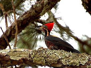 Lineated woodpecker species of bird