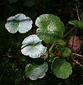 PNBT Hydrocotyle vulgaris 03.07.10 pl.jpg