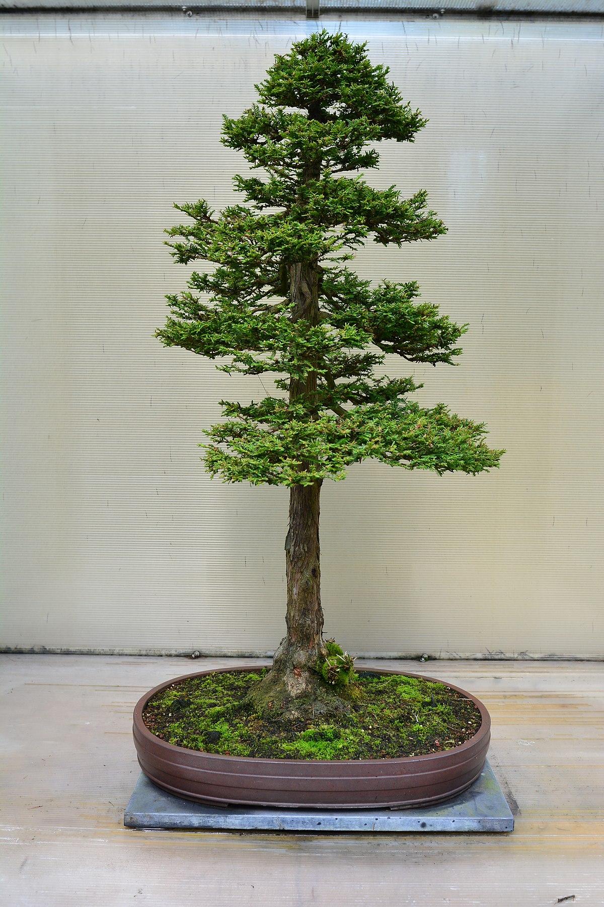 File Pacific Bonsai Museum 139 Sequoia Sempervirens Jpg Wikimedia Commons