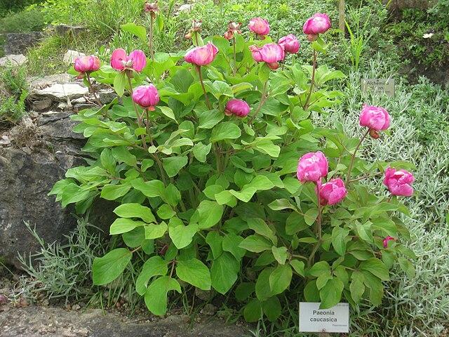 Пионы (Paeonia caucasica) в Берлинском ботаническом саду