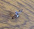Palloptera muliebris. Pallopteridae - Flickr - gailhampshire (1).jpg