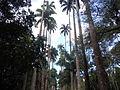 Palmeiras no Jardim Botânico do Rio de Janeiro.JPG