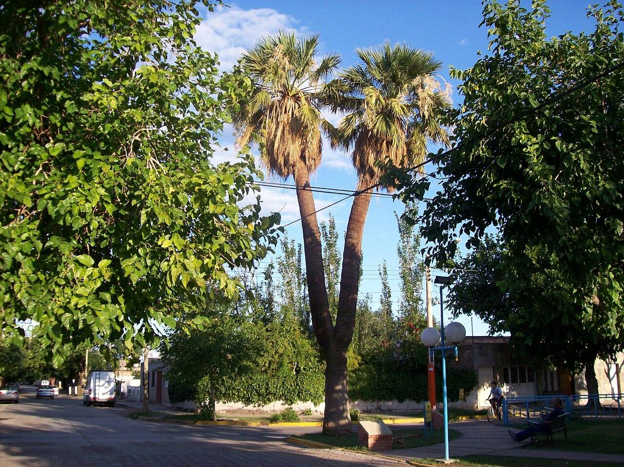 Archivo palmera de dos brazos en san juan for Camping el jardin san juan