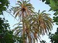 Palmes du village de Menâa 1 (Wilaya de Batna).jpg