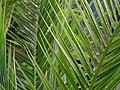 Palmwedel - panoramio.jpg