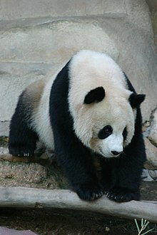 oso panda wikipedia